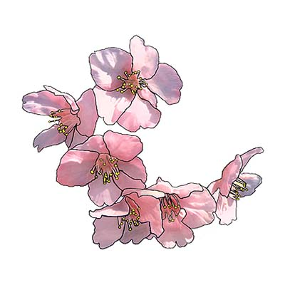 Pink Cherry Blossom Flowers Design Water Transfer Temporary Tattoo(fake Tattoo) Stickers NO.11092